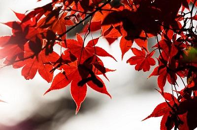 京都の紅葉の見ごろ、スケジュールは何月?