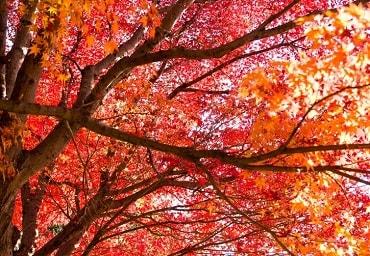紅葉が満開
