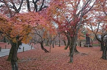 東福寺の枯葉もみじ